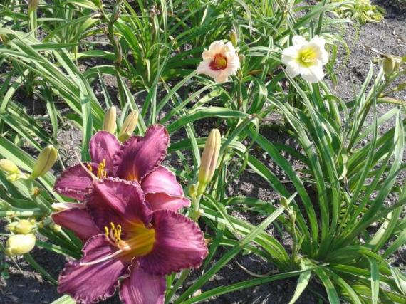 day-lilies-close-up