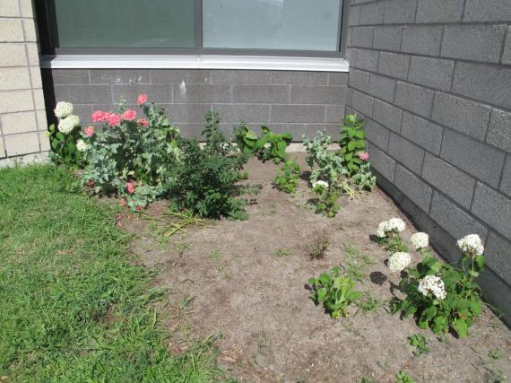 Poppies and hydrangeas under custodians' window